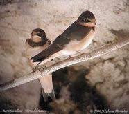 Barn Swallow Eggs Biokids Kids U0027 Inquiry Of Diverse Species Hirundo Rustica Barn