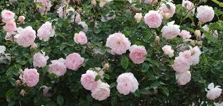 Fragrant Rose Plants - most fragrant english roses david austin roses