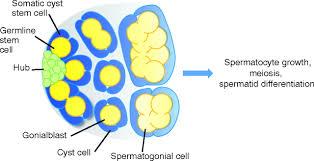 the stem cell niche lessons from the drosophila testis development