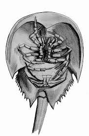 thank a horseshoe crab u2013 questionable evolution