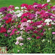 dianthus flower dianthus barbatus sweet plants thompson