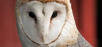 North American Barn Owl Barn Owl Riverbanks Zoo U0026 Garden