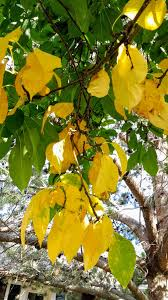 tree leaves turning yellow ask an expert