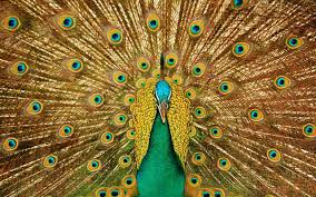127 peacock hd wallpapers backgrounds wallpaper abyss