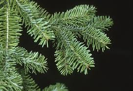 file abies balsamea balsam fir tree branch jpg the work of