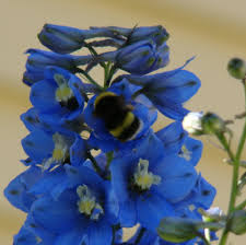 delphinium flowers delphinium flower seed pod and seeds the seed basket