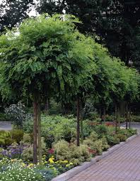 robinia standard trees for small gardens google search trees