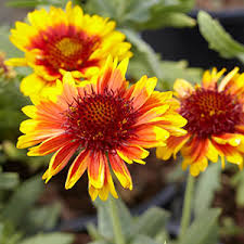 12 Best Annual Flowers For by Perennial Flowers Bloom Guide Costa Farms