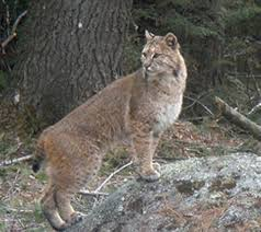 New Hampshire wildlife images Nh volunteers needed to stalk bobcats for study new hampshire jpg
