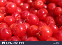 a lot of fruits of red berries of prunus tomentosa stock photo