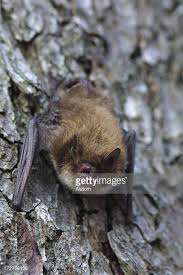 small bat bat stock photos and pictures getty images