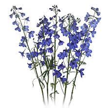 delphinium flowers bulk blue delphinium flowers for weddings at wholesale prices