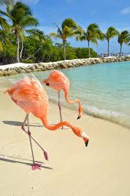 flamingo beach aruba photo of the day flamingo beach flamingo