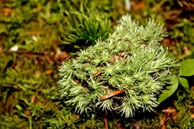 Pin Cushion Tree Pincushion Moss Wondermyway