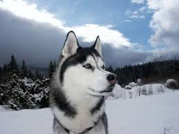 american pitbull terrier vs siberian husky what are all the other types of dogs that are similar to a husky