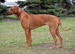 belgian shepherd for sale in pakistan rhodesian ridgeback dogs and puppies for sale in the uk pets4homes