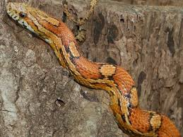 Found A Snake In My Backyard Common Non Venomous Snakes In South Carolina Www Scliving Coop