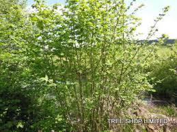 tree shop co uk hazel corylus avellana 50 tree or