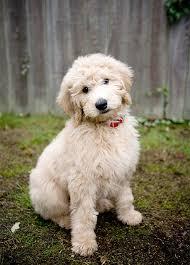 belgian sheepdog poodle mix goldendoodle dog breed information pictures characteristics