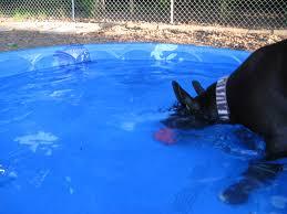 american pitbull terrier webbed feet can all dogs swim