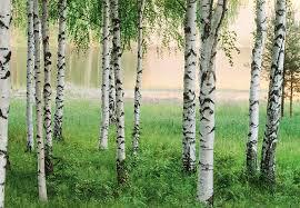 birch trees forest wall mural wallpaper