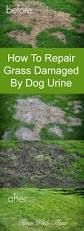 how to repair grass damaged by dog urine grasses tutorials and dog