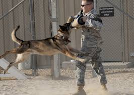belgian malinois in movies what u0027s the best dog all round ever bred
