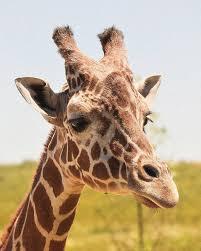 giraffe free jigsaw puzzles online best games resource