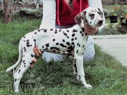 dalmatian puppies sale euro puppy
