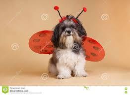halloween background puppy cute dog dressed up like a ladybug stock photo image 77720837