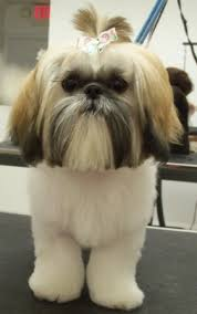 haircuts for shih tzus males mod dog boca grooming pictures dogs pinterest shih tzu dog