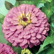Zinnia Flower Zinnia Seeds 108 Top Zinnias Annual Flower Seeds