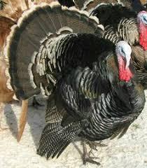 tiger bronze turkeys porter s heritage turkeys farm