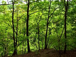 oak tree forest well this is how forests look like aroun flickr