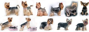 male yorkie haircuts yorkshire terrier haircuts 1001doggy com