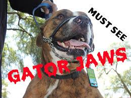 american pitbull terrier gator gator jaws pit bull fights and bites dog whisperer big chuck