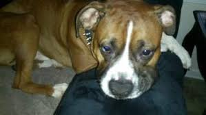 boxer dog gum problems boxer dog snoring what is normal what is not