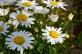 free images nature growth white meadow flower petal floral