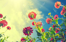 zinnia flower autumn flowers blue sky zinnia flower stock photo picture
