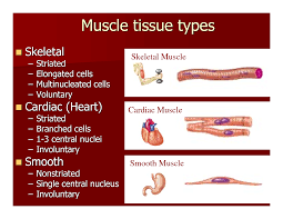 Anatomy And Physiology The Muscular System Muscle Cell Comparison Human Biology Pinterest Muscular System