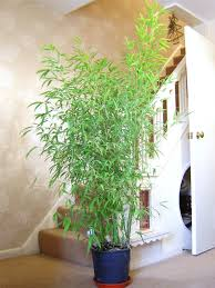 1 bamboo hardy evergreen gardening house plant in pot inoor