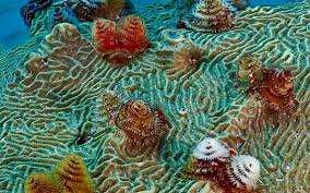 christmas tree worm is one of the many species of sealife found in
