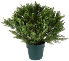national tree feel real 22 globe cedar shrub with growers pot