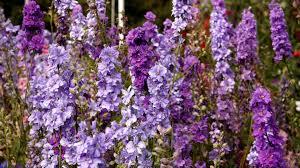 delphinium flowers wallpaper 3840x2160 delphinium flowers lilac