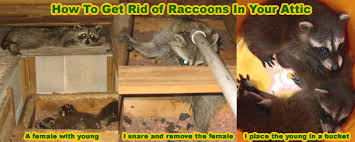 How To Get Rid Of Moles In The Backyard by How To Get Rid Of Raccoons In The Attic House Roof Crawl Space