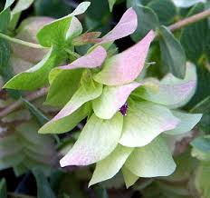 high altitude gardening ornamental oregano