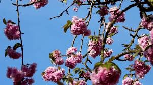 cherry blossom trees and cherry fruit trees video youtube