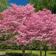 ornamental trees for sale nature nursery
