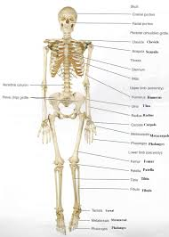 Principles Of Anatomy And Physiology 13th Edition Tortora Appendicular Skeleton