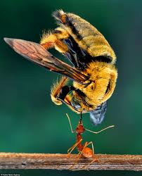 eko adiyanto photographs ants holding up bees daily mail online